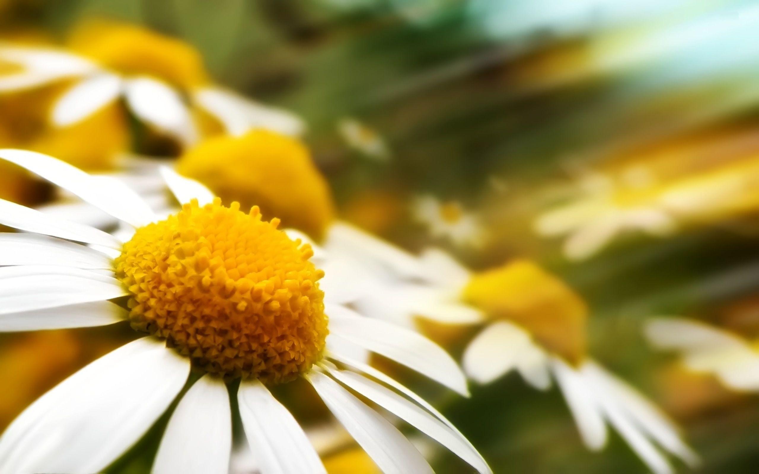 chamomile-flower-plant.jpg